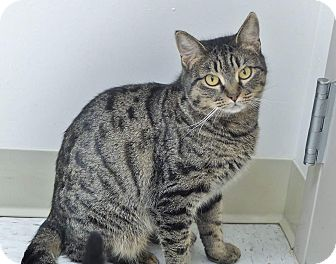Domestic Shorthair Cat for adoption in Chambersburg, Pennsylvania - Jolene