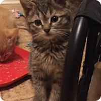 Adopt A Pet :: Armani - Herndon, VA