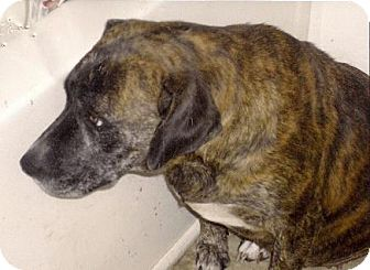 Boxer/Labrador Retriever Mix Dog for adoption in Moulton, Alabama - Wendy