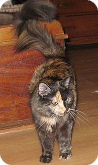 Domestic Mediumhair Cat for adoption in North Highlands, California - Wallynda