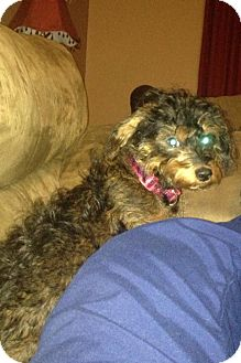 Yorkie, Yorkshire Terrier/Dachshund Mix Puppy for adoption in Richmond, Virginia - Honey