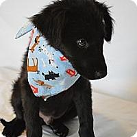 Adopt A Pet :: Joshi - Aurora, CO