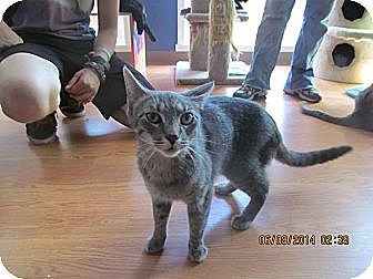 Domestic Shorthair Cat for adoption in Corinth, New York - Missy