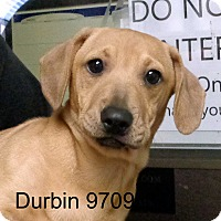 Adopt A Pet :: Durbin - baltimore, MD