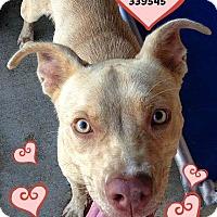 Adopt A Pet :: 339545 Bricker - San Antonio, TX