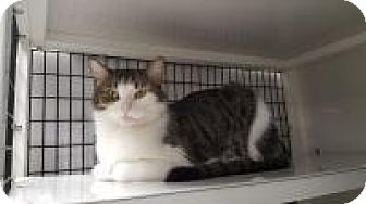 Domestic Shorthair Cat for adoption in La Grange Park, Illinois - Baby