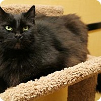 Adopt A Pet :: Blackjack - Bellevue, WA