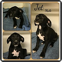 Adopt A Pet :: Jet in CT - Manchester, CT