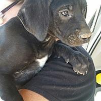 Adopt A Pet :: Jackson - Tucson, AZ