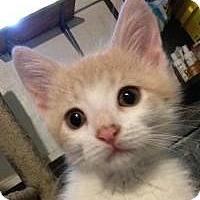 Adopt A Pet :: Terri - LAP KITTEN - Franklin, WV