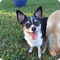 Chihuahua Mix Dog for adoption in Santa Fe, Texas - Dale