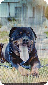 Rottweiler Dog for adoption in Yelm, Washington - Dillion