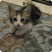 Adopt A Pet :: COBY THE KITTEN - Brea, CA