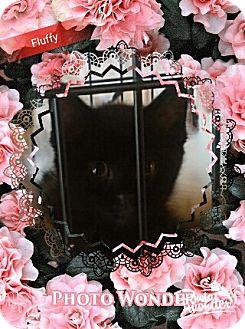 Domestic Longhair Cat for adoption in San Bernardino, California - Furry