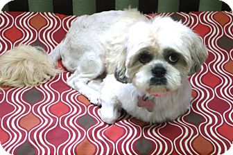 Shih Tzu/Pekingese Mix Dog for adoption in Woonsocket, Rhode Island - Hadley