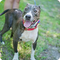 American Pit Bull Terrier Mix Dog for adoption in Tarboro, North Carolina - Macie