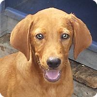 Vizsla Mix Puppy for adoption in Preston, Connecticut - Bean AD 10-15-16