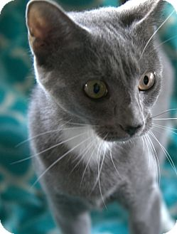 Russian Blue Cat for adoption in Staunton, Virginia - Greta