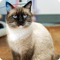 Siamese Cat for adoption in Denver, Colorado - Frosty