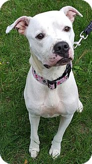 American Pit Bull Terrier Mix Dog for adoption in Fulton, Missouri - Hope - Massachusetts