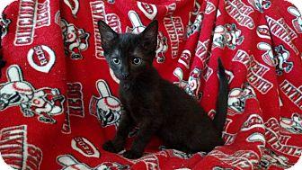 Domestic Shorthair Kitten for adoption in Middletown, Ohio - J.P. Jones