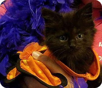 Domestic Longhair Kitten for adoption in Lexington, Kentucky - Rajah