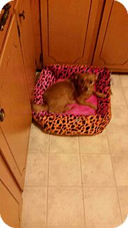 Chihuahua Mix Dog for adoption in Lexington, North Carolina - Sasha