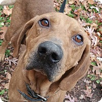 Hound (Unknown Type)/Labrador Retriever Mix Dog for adoption in Marion, Indiana - Old Dan