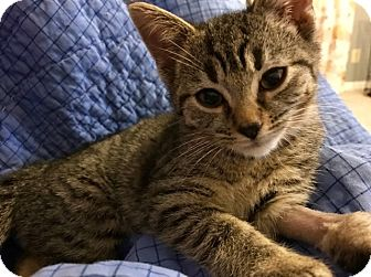 Domestic Shorthair Kitten for adoption in Cincinnati, Ohio - June