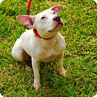 Bull Terrier/American Staffordshire Terrier Mix Dog for adoption in Vancouver, British Columbia - Princess Sparkle