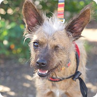 Terrier (Unknown Type, Small) Mix Dog for adoption in Van Nuys, California - Sparrow