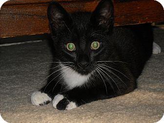 Domestic Shorthair Kitten for adoption in Arlington, Virginia - Leroy