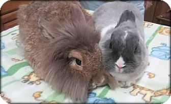 Lionhead Mix for adoption in Williston, Florida - Pebbles & Xio Niao