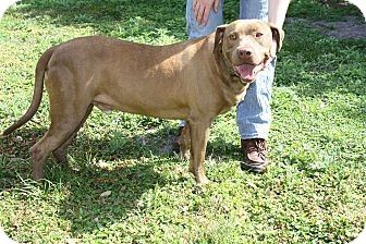 Hound (Unknown Type)/Labrador Retriever Mix Dog for adoption in Wauchula, Florida - Rex