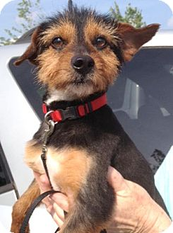 Yorkie, Yorkshire Terrier Mix Dog for adoption in Richmond, Virginia - Jack