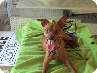 Miniature Pinscher Dog for adoption in Atlanta, Georgia - Kingsley Wellington III