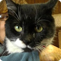 Domestic Shorthair Cat for adoption in Lyndora, Pennsylvania - KARMA 81-11A