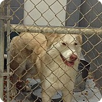 Adopt A Pet :: Goldie - Schererville, IN