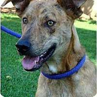 Adopt A Pet :: Duke super pup - Sacramento, CA