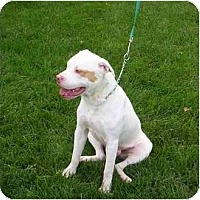 Adopt A Pet :: Babyface - Chicago, IL