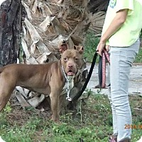Pit Bull Terrier/American Pit Bull Terrier Mix Dog for adoption in Oviedo, Florida - KIT KAT