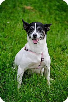 Smooth Fox Terrier Dog for adoption in Southeastern, Pennsylvania - Holly