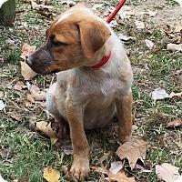 Adopt A Pet :: Ginkgo - Stamford, CT