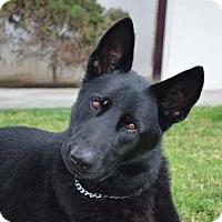 Adopt A Pet :: Argus - Downey, CA