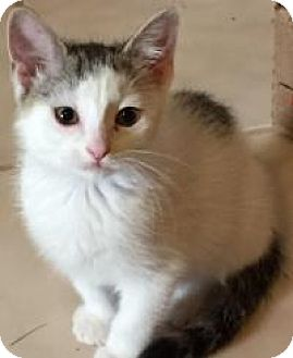 Domestic Shorthair Kitten for adoption in Duluth, Georgia - Cotton Tail