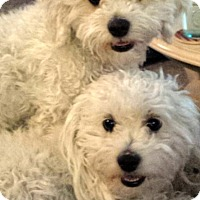 Adopt A Pet :: Duchess and Nikka - Henderson, NV