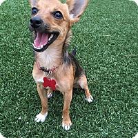 Adopt A Pet :: Oliver 1 - Las Vegas, NV