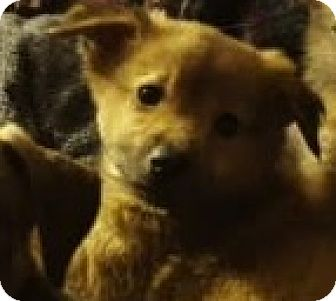 Australian Shepherd Mix Puppy for adoption in Saddle Brook, New Jersey - Bella