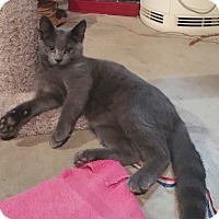 Domestic Shorthair Kitten for adoption in Byron Center, Michigan - Frank