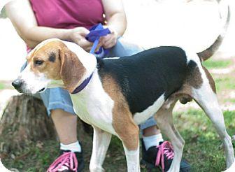 Hound (Unknown Type)/Beagle Mix Dog for adoption in New Martinsville, West Virginia - Schroder